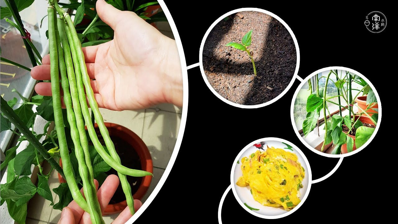 花盆种豆角 Growing Long Beans in Flower Pot